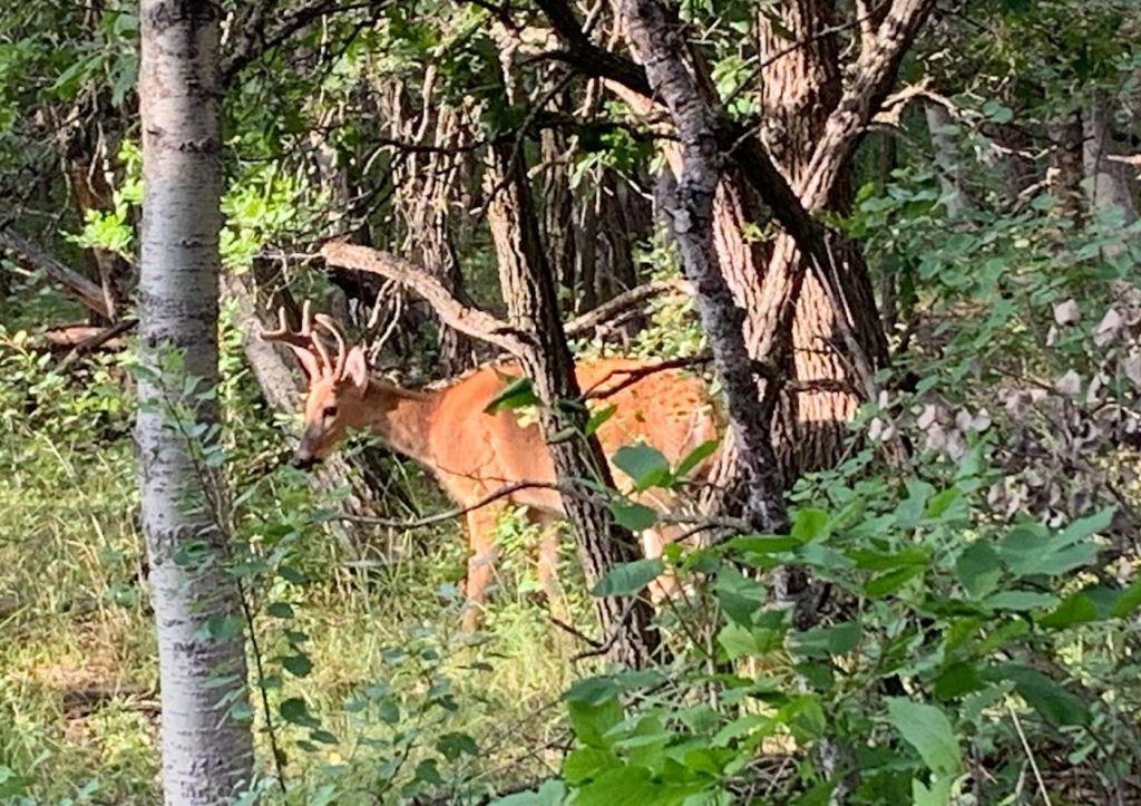 saw a deer on my walk in Assiniboine Forest
